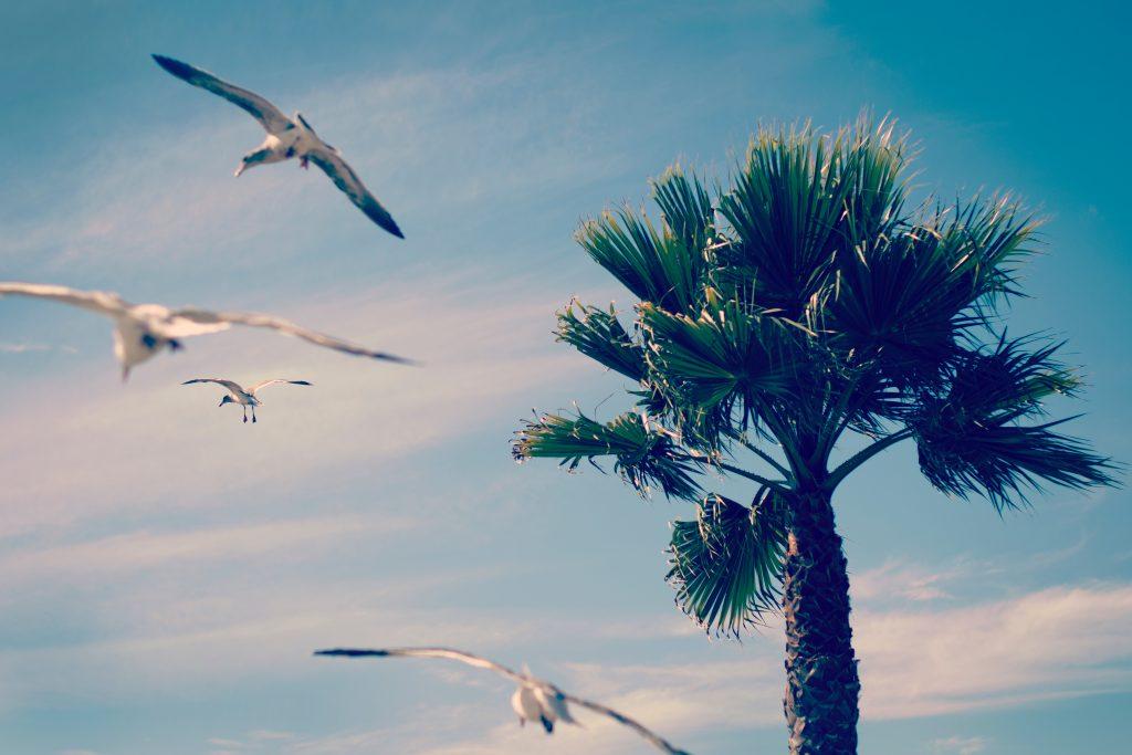 mewy latające wokół palmy
